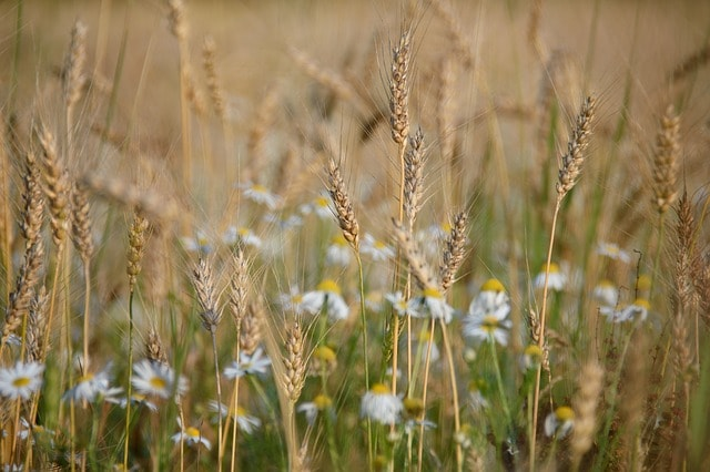 A picture of an oat field with daisys